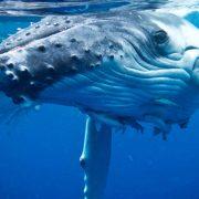 Whales Tonga Tourism