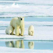 Polar bear and cub Svalbard Alexey Sedov