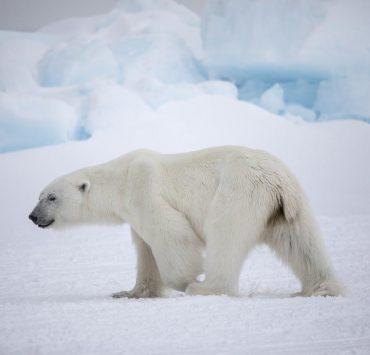 polar bear 3 2