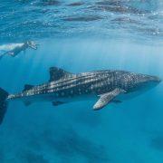TravMedia Australia 1445120 Ningaloo Discovery Whale Shark