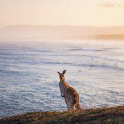 Kangaroo destination nsw